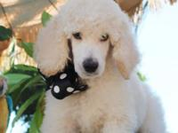 AKC Standard Poodle puppies !! These infants are 8