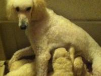 AKC standard poodles puppies, tails and dewclaws done