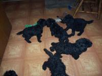I have a healthy, playful litter of Standard Poodle