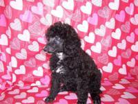 Gorgeous Black female doggie, AKC, white on upper body