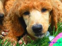 AKC Standard Poodle Puppies; 2 males (deposit accepted