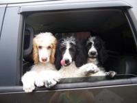 AKC signed up Standard Poodle pups. 2 females left.