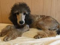 Lion is a stunning tri color Sable standard poodle. AKC