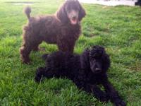 We have 2 Beautiful Standard Poodle Puppies offered.