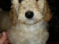 We have a litter of beautiful standard poodle young