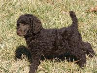 Stunning AKC Standard Poodle Puppies. Ready for