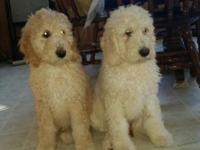 Very well socialized puppies. They are raised with our