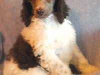 AKC registered Standard Poodles 8 weeks old, up to date
