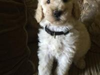 Beautiful Standard poodle puppies. Male and female