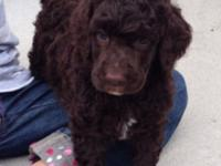 We have 3 Beautiful Standard Poodle Puppies available.