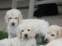 Beautiful Standard Poodle puppies both white and black