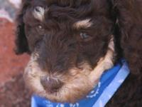 Standard poodle puppies AKC registered. 4 very males