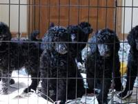 Akc Standard Poodle Puppies, will be 8 weeks old on