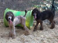 AKC male standard poodle puppies. 2 boys available.