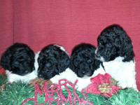 AKC Standard Puppies are here! ONLY 2 boys and 2 girls