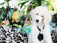 AKC STANDARD POODLE PUPPY! LAST PUPPY, THIS GUY ONLY