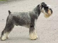 They are finally here!!!! AKC STANDARD SCHNAUZER