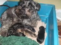 The puppies are AKC Reg., tails have been docked,