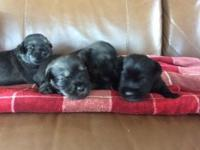 We have 3 pepper salt young puppies offered. They run