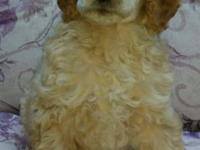 Standard poodles puppy,s I have two black females one