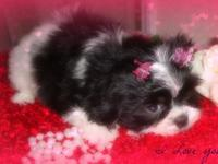 AKC EXOTIC COLORED SHIH TZUS. We are a show home and