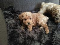 AKC Tiny Toy Poodle Male Dam: Weighs 5 pounds Sire: