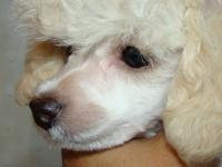 PARKER, BEAUTIFUL Tiny Toy Poodle 5 months old. Should