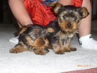 AKC SUPER CUTE MALE YORKIE FOR $550 SMALL, SUPER