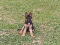 Beautiful AKC German Shepherd puppies from super