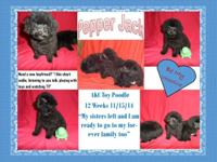 AKC Toy Poodles all set for their forever houses! These