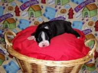AKC Registered Female Boston Terrier Puppy. $350.00.