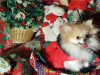 AKC T-Cup Pomeranian Parti Female. Loaded with champion