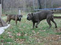 Tank is an awesomely built blue brindle male Cane