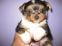 AKC TCUP PARTI YORKIE MALE 2 1/2 MONTHS SHOT AND