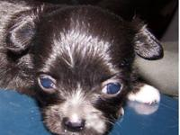 AKC Tea Cup Female Chihuahua X-dense long soft coat, 4