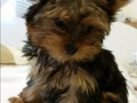 AKC yorkie tea cup female, 16 weeks, shot and deworm up