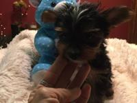 AKC TEA CUP MALE YORKIE 8 weeks old and ready for his