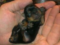 3 pound mom and 2.5 pound dad true tea cup puppies 8