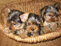 AKC Tea-Cup Yorkie Pups!! Text: (530) 363-9340  They