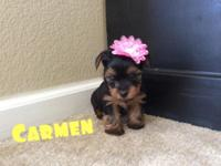 www.designeryorkies.com PUPPIES WILL REMAIN BLACK LIKE