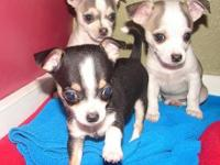 AKC Teacup Chihuahua Puppies for sale. Two Females & &