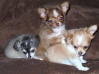 Gorgeous AKC Teacup Chi's available..They are