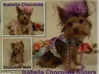 AKC Teacup Chocolate Yorkies! Absolutely Perfect !!!