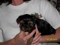 I have 3 female Teacup Yorkie Puppies for sale. They