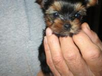 We have 4 AKC Yorkshire Terrier young puppies that were