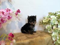 Stunning Ch Bloodline Male Yorkshire Terrier puppy. His