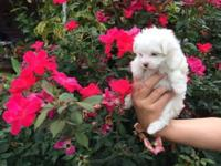 This Teacup Maltese girl is so cute and healthy! Her