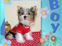 AKC Teacup Yorkies Black & & Tan with white markings.