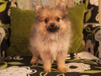 AKC registered Pomeranian Puppies. $900 cash only. 1st