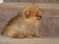 This adorable tiny Sable female Pomeranian puppy (borne
